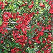 Айва великолепная Кримсон энд Голд (Chaenomeles superba 'Crimson and Gold') фото