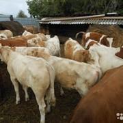 Крупнорогатый скот фото
