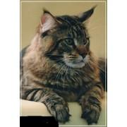 Кошки породы мейн кун фото