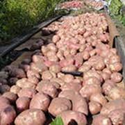 Грузоперевозки картофеля фото