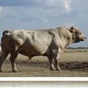 """Племенной скот """"Аулиекольской"""" породы! фото"""