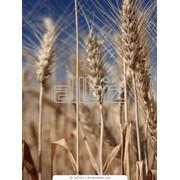 Пшеница фуражная оптом. Экспорт фото