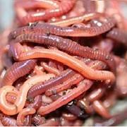 Дождевые черви (для разведения) фото