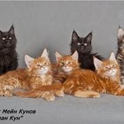 Мейн кун кошки котята фото