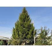 Продаётся ёлка к новому году,высота 15 метров фото
