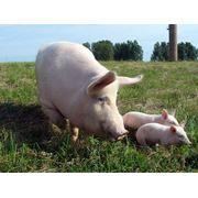 Комбикорм для свиней фото