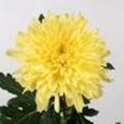 Хризантема Zembla Yellow фото