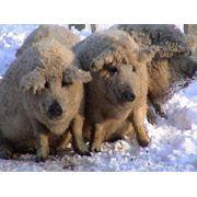 Мясо Свинина мраморная фото