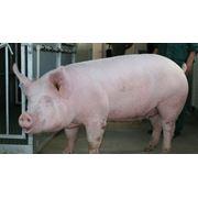 Продажа свиней фото