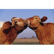 Мясного скот из Австралии и Северной Америки фото