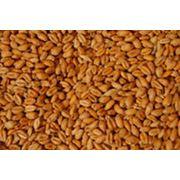 """Пшеница-продовольственная"""" 3-4 класс Северный-Казахстан. Яровая. фото"""
