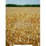 Пшеница фотография