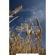 Зерно зерновые культуры фото