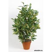 Аукуба Japonica Crotonifolia фото