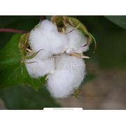 Семена хлопчатника фото