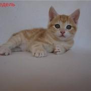 Кошка Аксиния Золото Курил фото