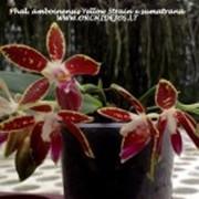 Орхидея фаленопсис (лат. Phalaenopsis) фото