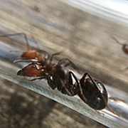 Муравьи Camponotus nicobarensis 10-20 рабочих фото