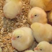 Продаются цыплята бройлерные ИЗА фото