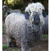 Шерсть овечья фото