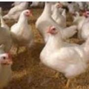 "Программа ""Корм Оптима"" включает модуль ""Технология движения поголовья на птицефабрике (свинокомплексе)"". фото"
