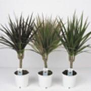 Драцена marginata - 1 ствол ( Dracaena marginata - 1 ствол ) фото
