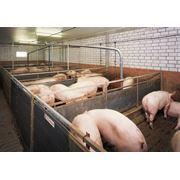 Кормовые добавки для свиней фото