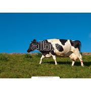 Разведение крупного рогатого скота. Разведение коров. фото