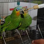 Продам ручного попугая венесуэльский амазон птенцы выкормыши фото