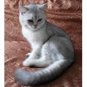 Котик окраса шиншилла тиккированная ns25 фото
