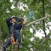 Кронирование, спиливание аварийных деревьев фото