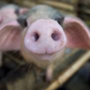 Премикс для лактирующих свиноматок, Германия 4% фото