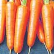 Морковь тупоносая фото