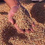 Заготовка, сушка, хранение семенного зерна, обработка зерна фото