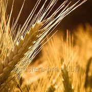 Пшеница на экспорт от АГРОСФЕРА-БМ фото
