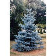 Ель колючая голубая (Picea pungens Misti Blue).Высота 20-30см,1-1.5м,2-3м,4-6м. фото