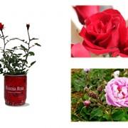 Роза. Цветок в банке фото