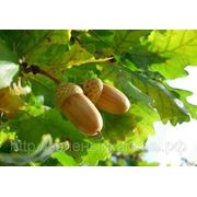 Дуб (Quercus).Высота 0.5-1м,1-1.5м,2.5-3м. фото