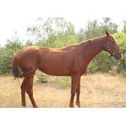 Продажа породистых лошадей фото