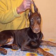 Доберман-щенки фото