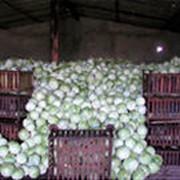 Капуста белокачанная урожай 2014 фото