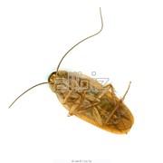 Уничтожение тараканов г. Николаев и Николаевская обл. фото