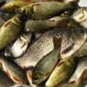 Разведение пресноводной рыбы фото