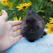 Львиноголовый черный крольчонок из питомника фото