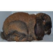 Кролики породы французский баран фото
