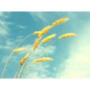 Реализация зерновых фото