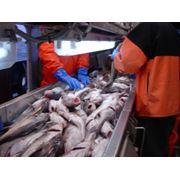 Переработка и изготовление рыбопродукции. фото