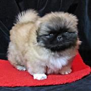Питомник пекинесов Сан-Рей предлагает щенков и вязки фото