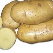 Картофель сорт Скарб фото
