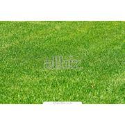 Луговой газон семена для газонов фото
